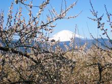 曽我梅林 富士山