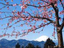 松田 河津桜