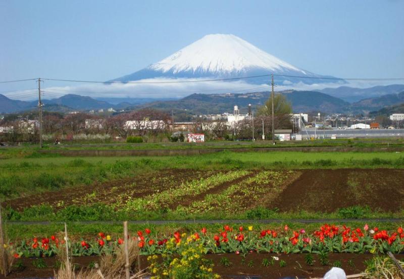 富士山 チューリップ 写真