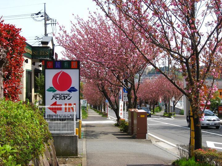 バーミヤン 八重桜