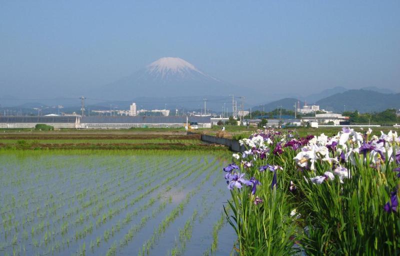 富士山と花菖蒲