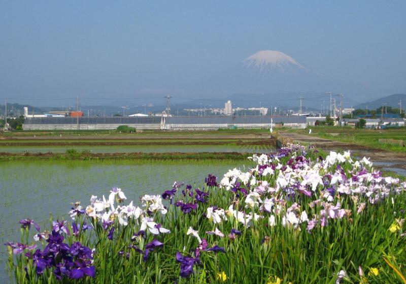 富士山と花ショウブ