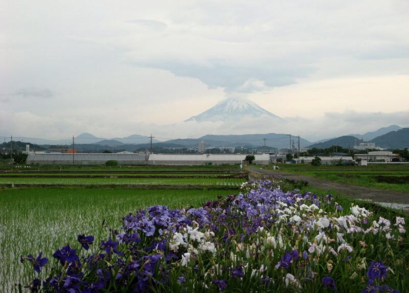 ⇒花菖蒲と富士山