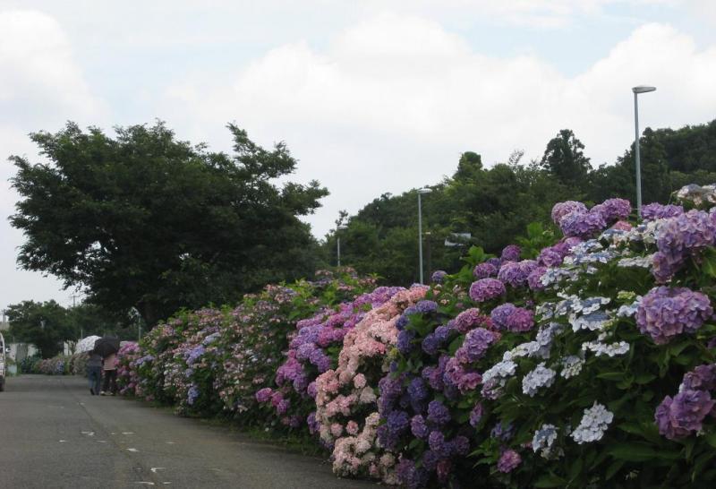 藤沢市の紫陽花祭り