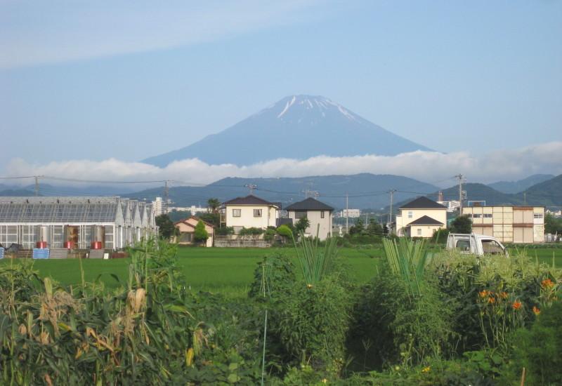 とうもろこし畑と富士山