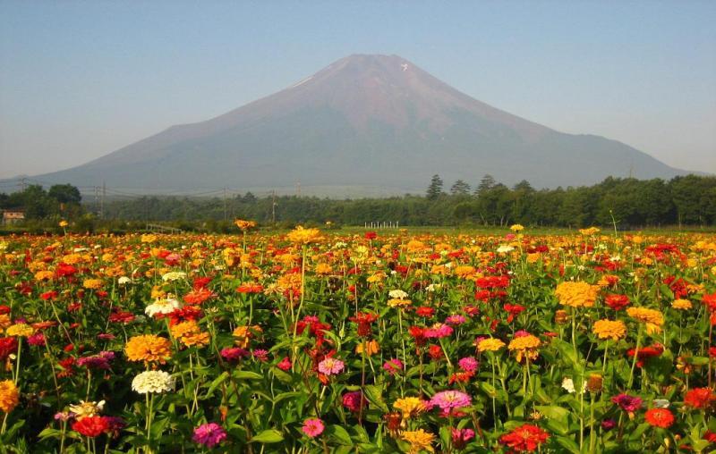 百日草畑と富士山
