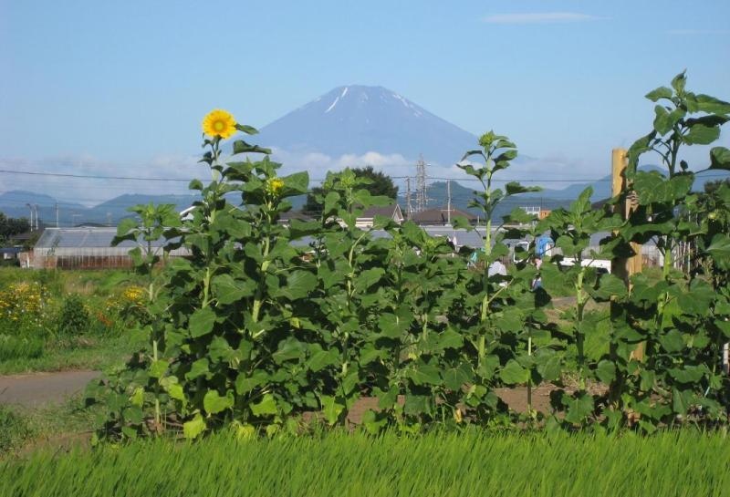 富士山ヒマワリ