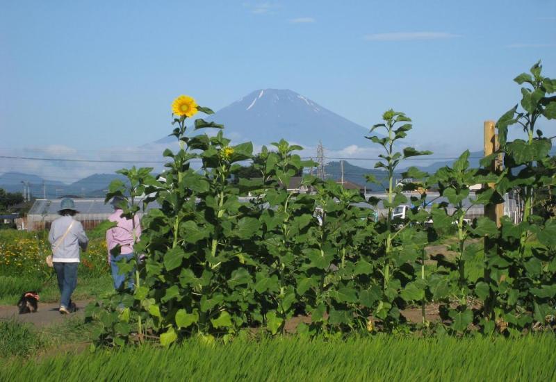富士山ひまわり