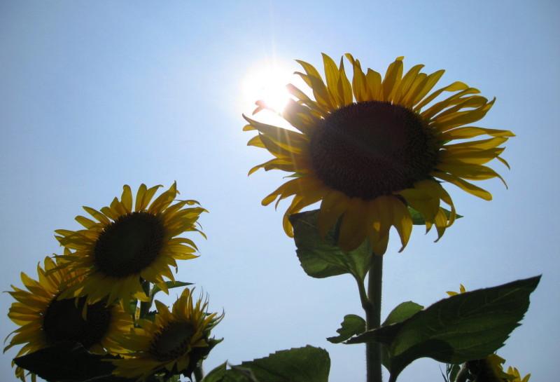 逆光ひまわり 太陽