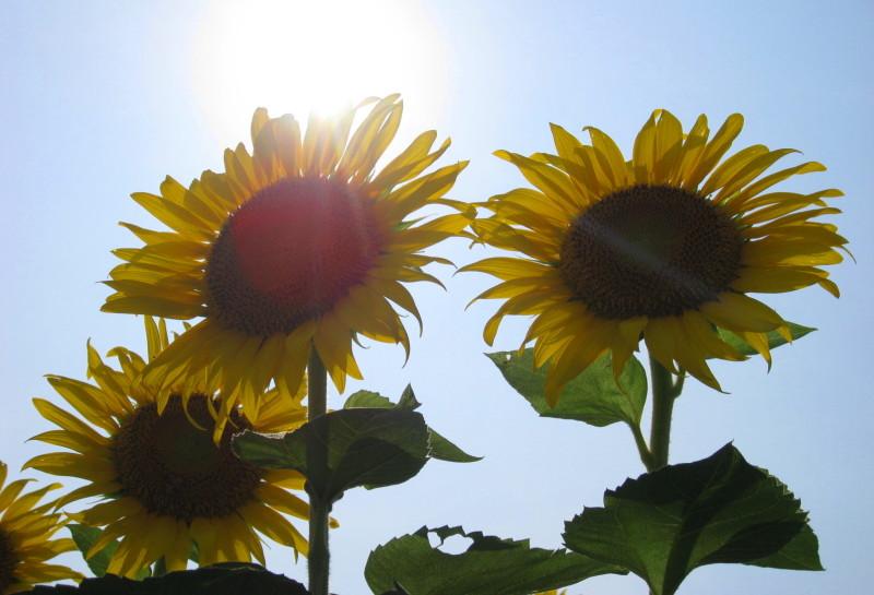 逆光ヒマワリ 太陽