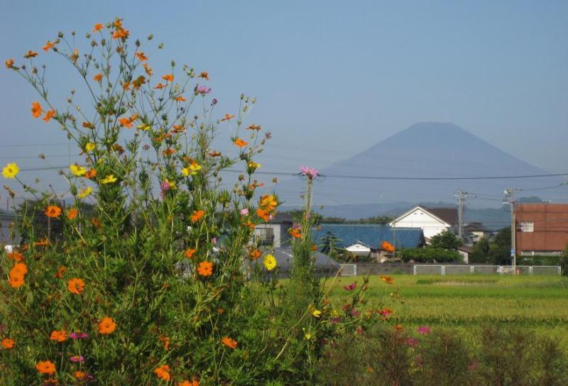富士山 黄花コスモス