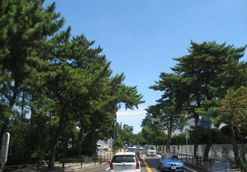茅ヶ崎国道1号東海道松並木2