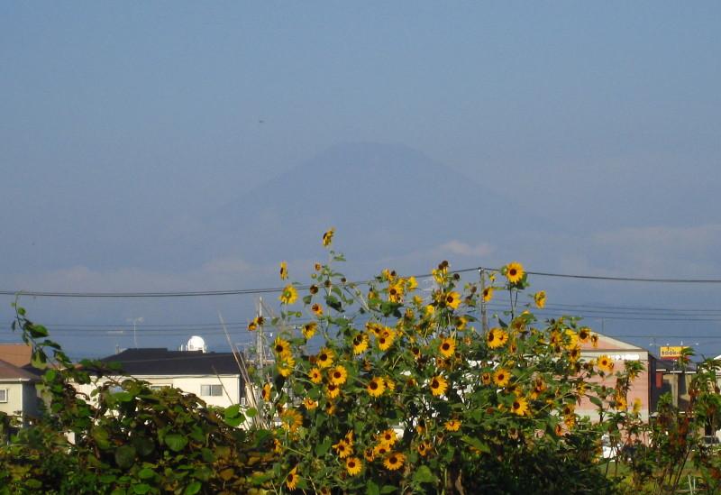 富士山 品種改良ひまわり