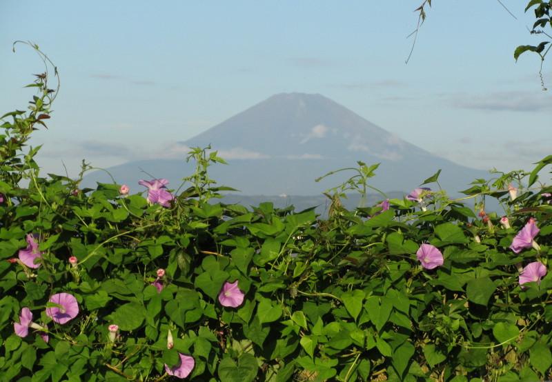 朝顔 富士山 アサガオ