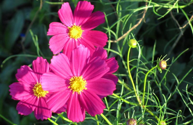 赤紫コスモスの写真画像