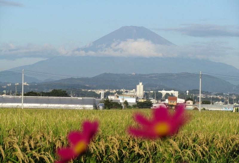 赤紫コスモスと富士山の写真画像