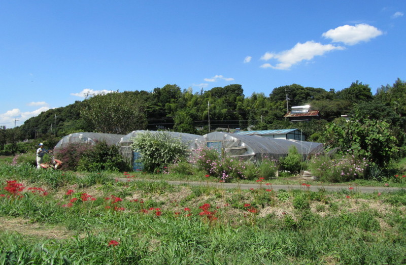 藤沢市遠藤の小出川彼岸花とコスモス画像