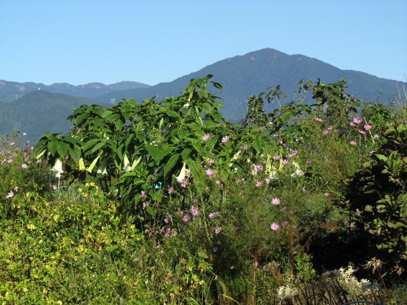大山とコスモスとラッパ花と白彼岸花