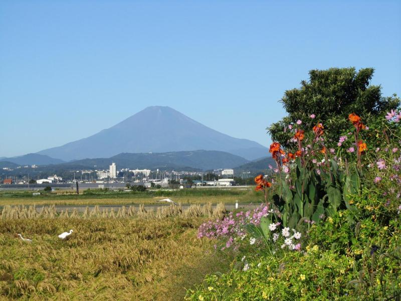 富士山 田んぼ稲 コスモス 白鷺(サギ?) カンナ