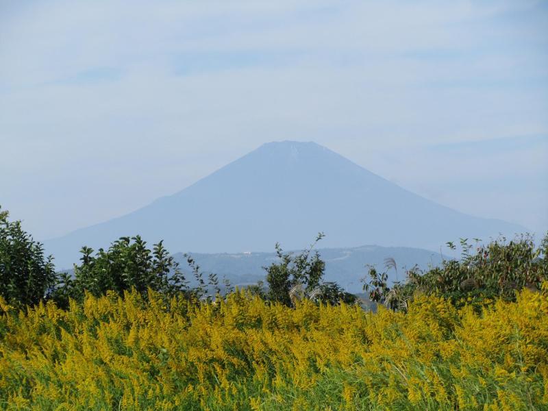 富士山とセイタカアワダチソウ(背高泡立草)の写真 画像
