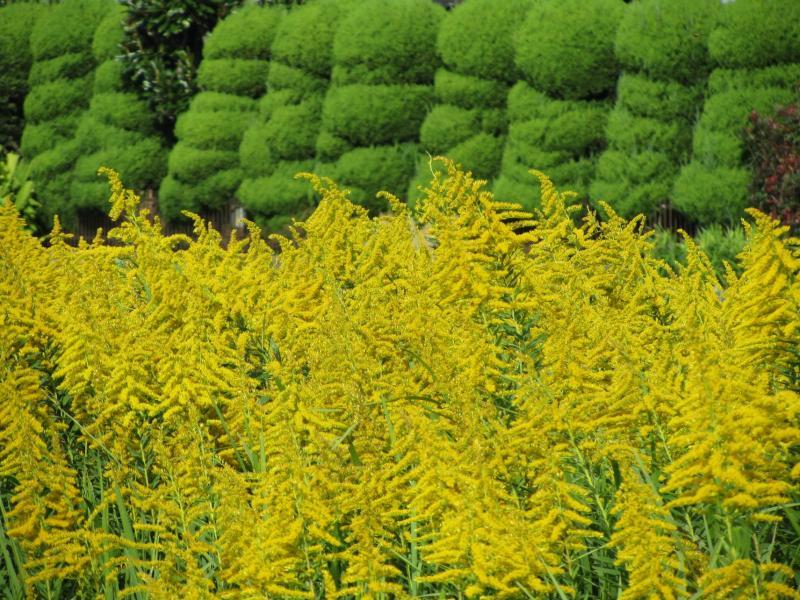 セイタカアワダチソウ(背高泡立草)の写真 画像