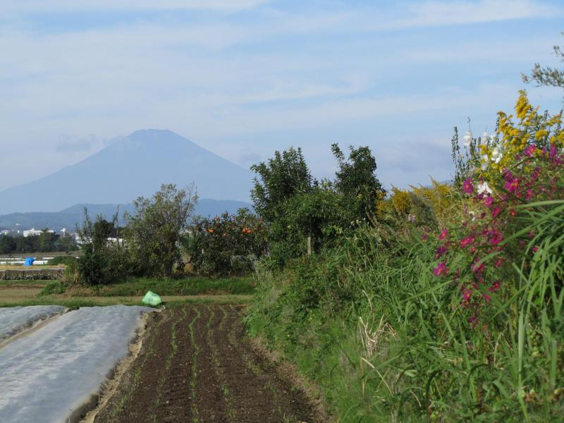 富士山と背高泡立草とコスモスと柿の写真 画像