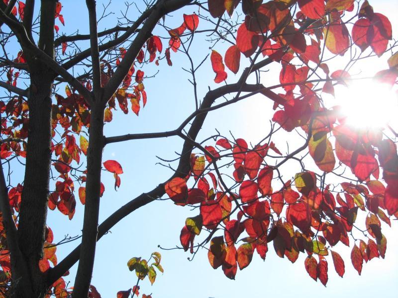 ハナミズキ(花水木)の紅葉の写真の画像(逆光)