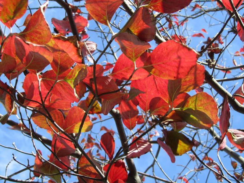 ハナミズキ(花水木)の紅葉の写真の画像(順光)