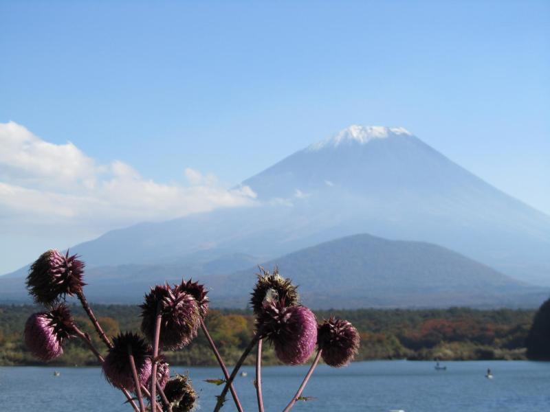 富士山 精進湖 フジアザミ