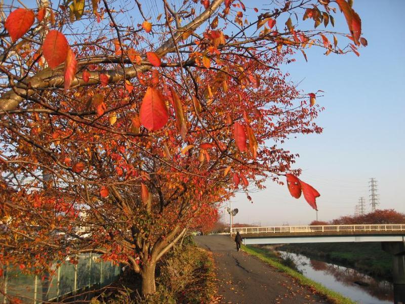 紅葉桜並木 渋田川