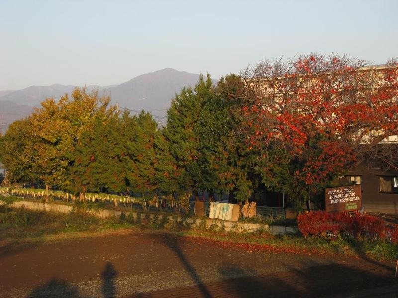紅葉桜 カエデ