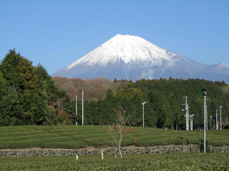 富士山 大渕 茶畑