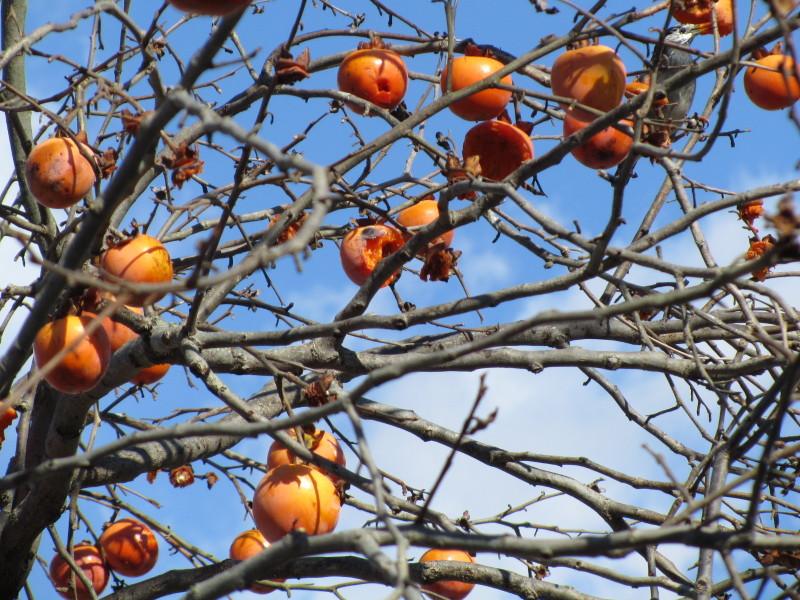 柿を食べてる鳥 画像