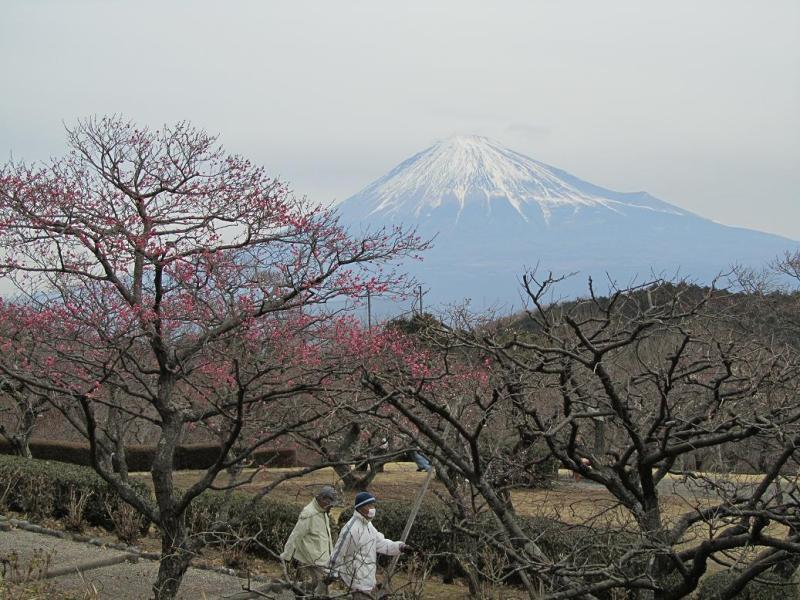 富士山 岩本山 紅梅 2011年1月15日