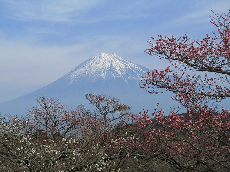富士山 岩本山梅園