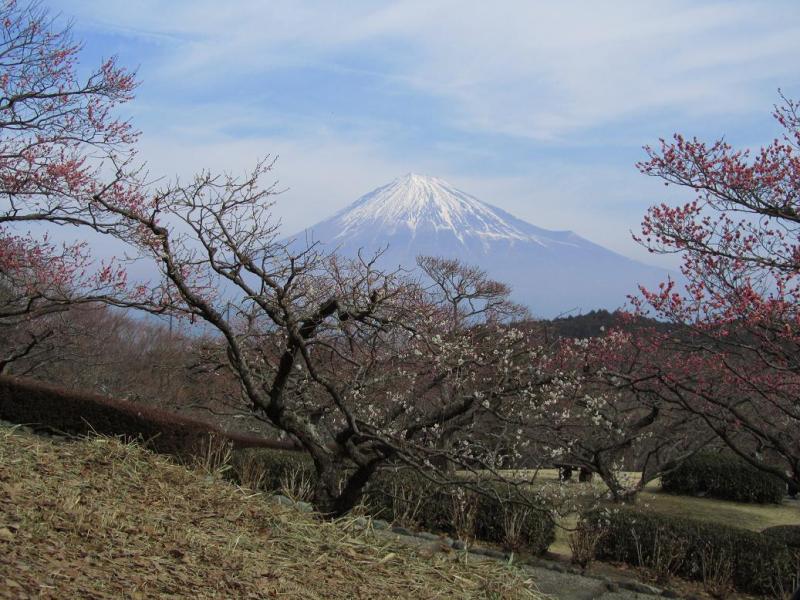 富士山 岩本山 梅林
