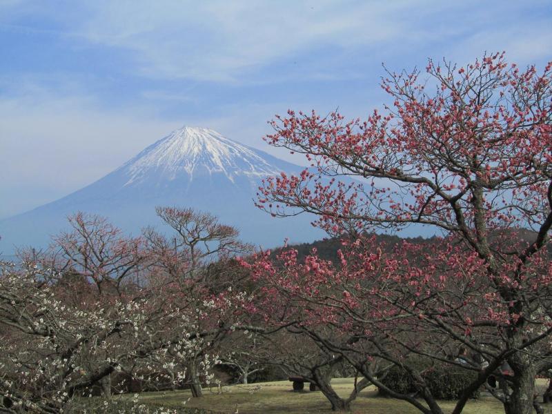 富士山 岩本山 梅園