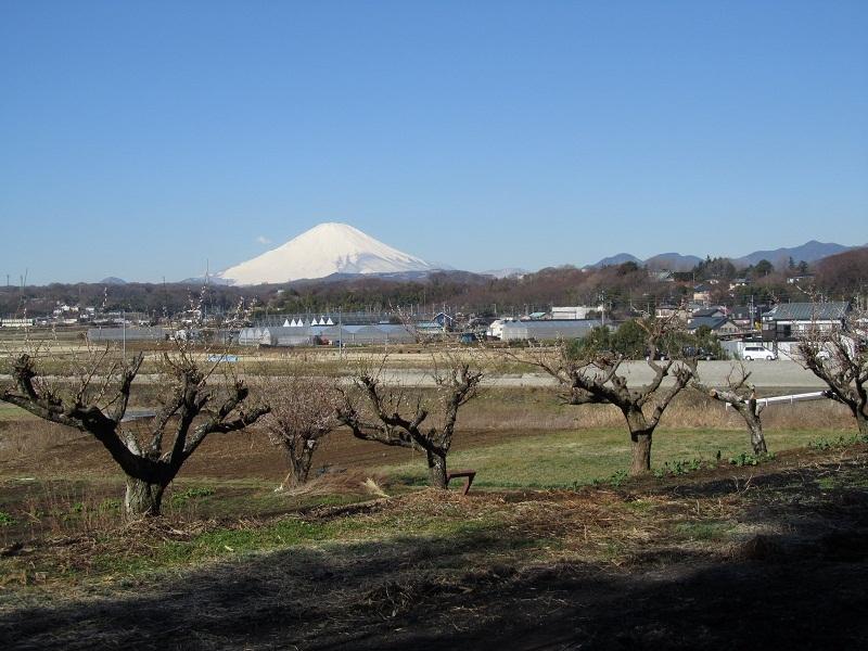 富士山 梅 平塚市金目