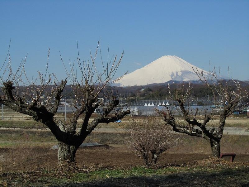 富士山 梅 平塚