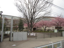 河津桜 小学校