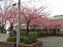 河津桜 iコントラスト+くっきりカラー