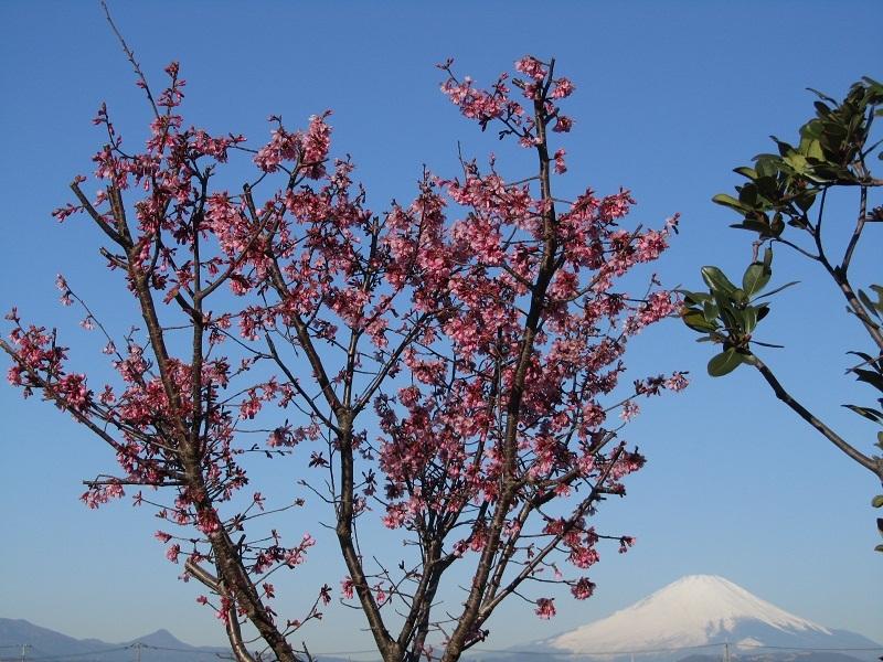 おかめ桜 富士山