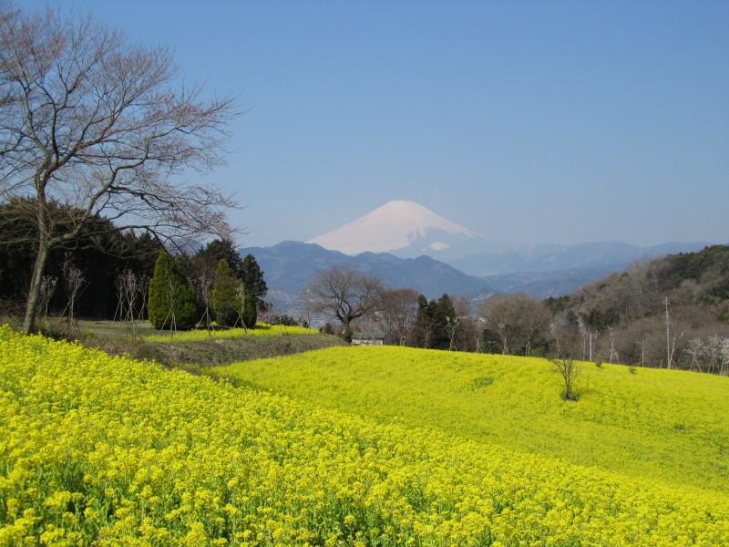 ⇒菜の花 富士山 大井町