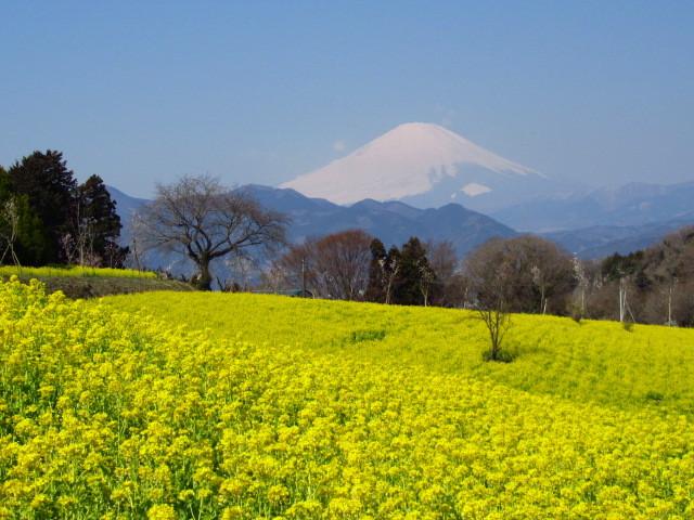 富士山 菜の花 大井町