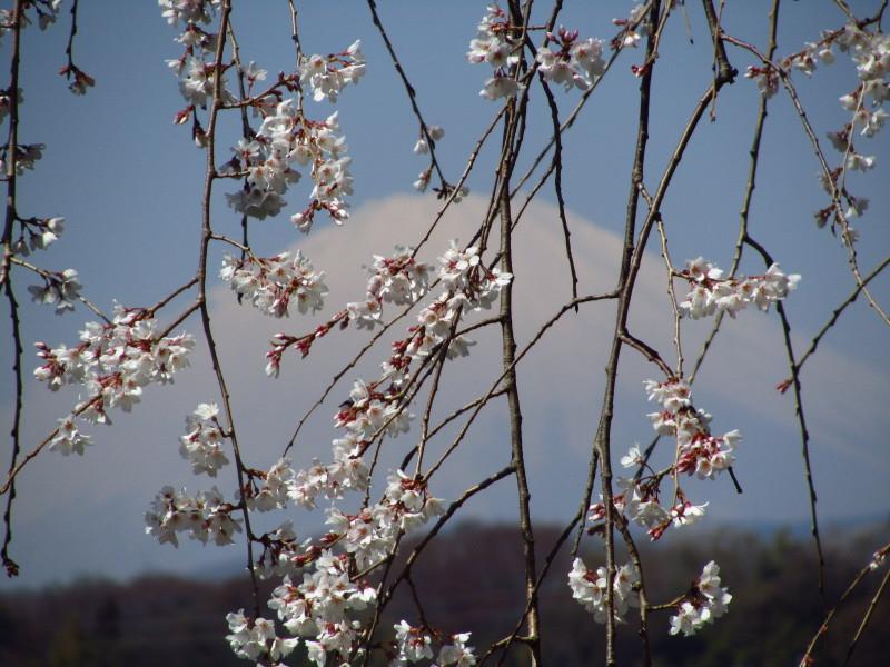 ⇒富士山 枝垂桜