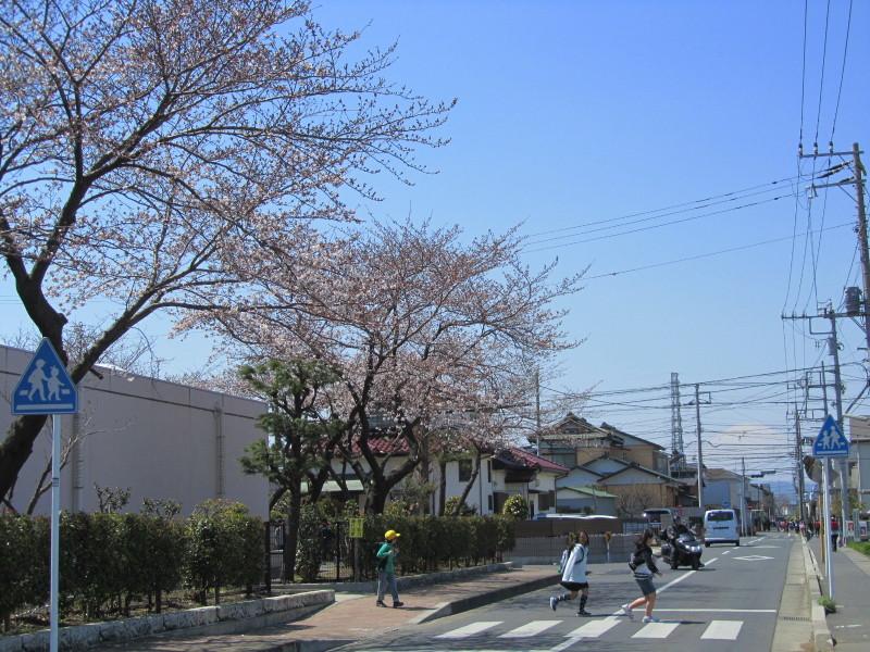 富士山 桜 小学校