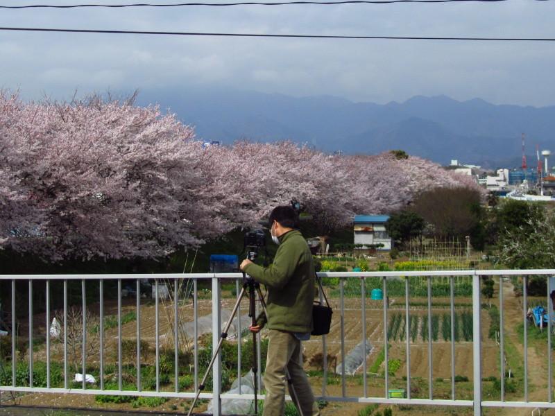 厚木 桜並木