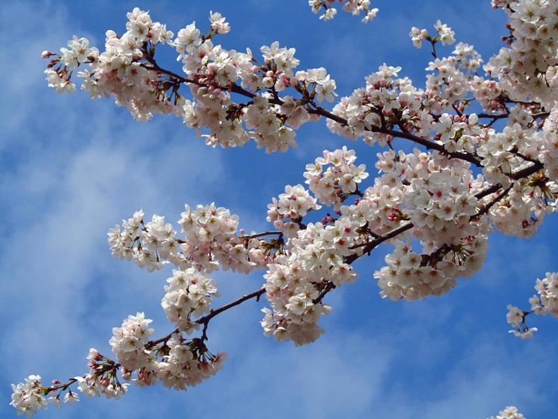 桜(そめいよしの)