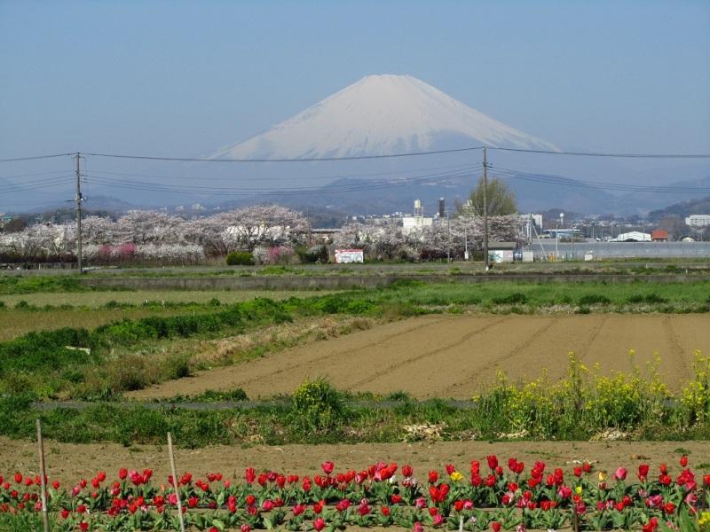 富士山 チューリップ 画像
