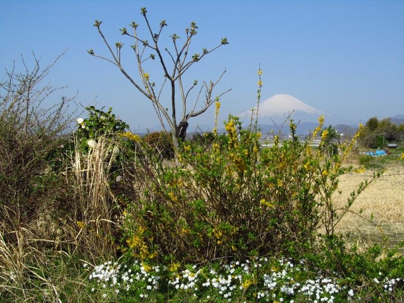 レンギョウ(連翹)と富士山写真の画像